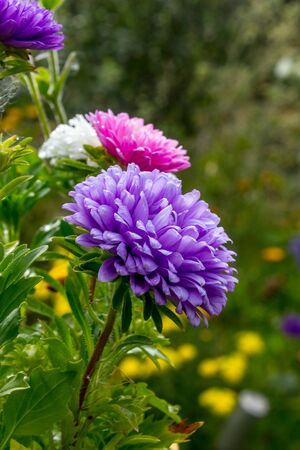 Lilac aster in the garden in the summer Stock Photo