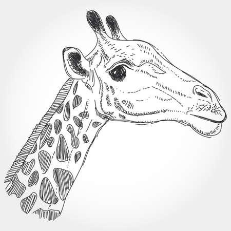 giraffa: aislado jirafa contorno negro sobre fondo blanco. Vectores