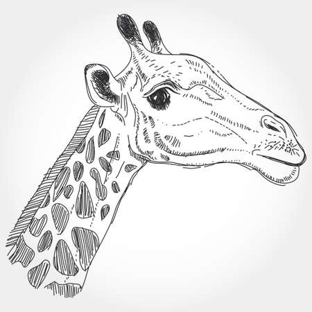 giraffe isolated black contour on white background.  Vector