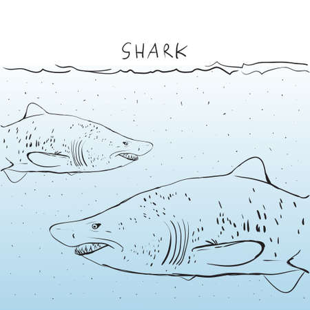Two Great White Shark in the water.  Vector