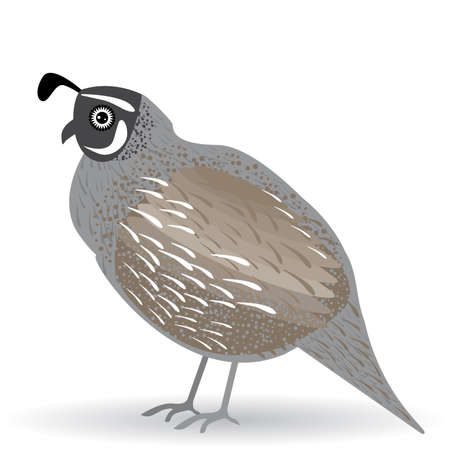 Funny quail on white background