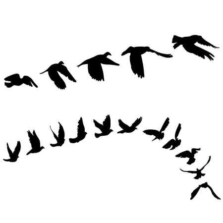 palomas volando: Las palomas y las palomas fijaron para el concepto de la paz y el diseño de la boda. Volar conjunto de dibujos paloma. Ilustración vectorial