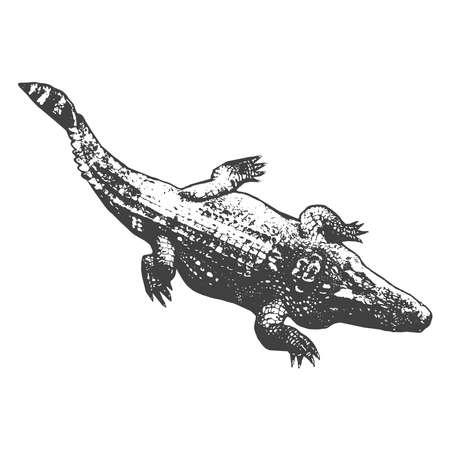 nile river: Huge crocodile thick, black contour on white background. Top view. Vector illustration Illustration