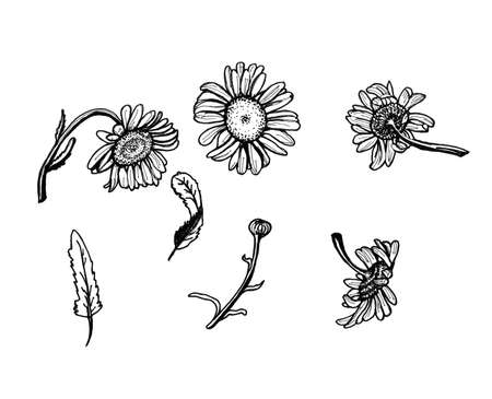 camomile tea: drawing black ink - daisies on white background set of flowers leaves branches Stock Photo