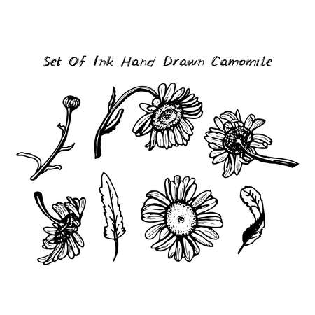 camomile tea: drawing black ink - daisies set of flowers leaves branches on white background. Vector illustration