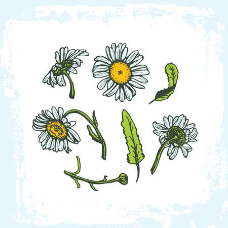 camomile tea: drawing daisies on a white background set of flowers leaves branches, grunge frame on white background. Vector illustration