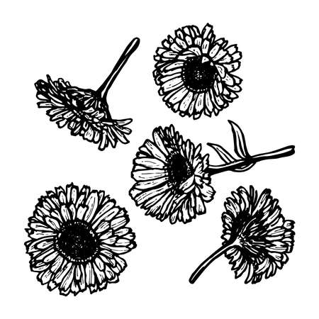 calendula: calendula flowers, sketch, black contour on white background. Vector illustration