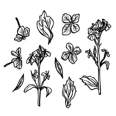 Rettich Blumen, Skizze, schwarze Kontur auf weißem Hintergrund. Vektor-Illustration Vektorgrafik