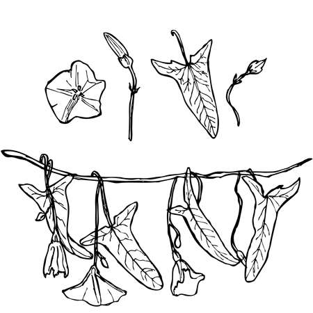 branch with leaves buds and flowers bindweed floral set contours isolated on white background hand-drawn. Vector illustration