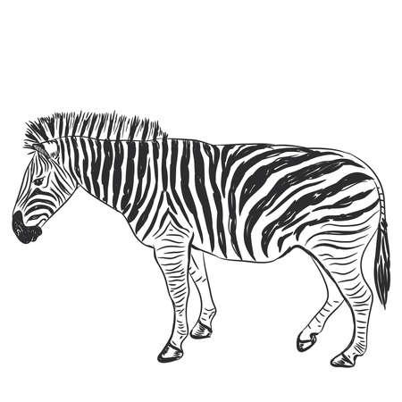 Black and White Zebra portrait sketch isolated on white background. Vector illustration