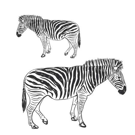 Black and White Zebra portrait sketch isolated on white background. Vector illustration