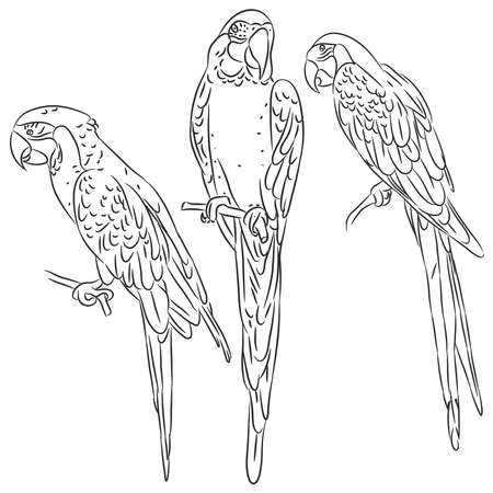 Macaw set black sketch isolated vector illustration