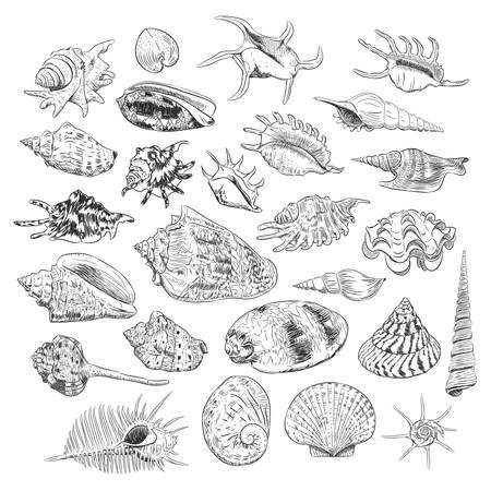 Unique museum collection of sea shells rare endangered species, molluscs Gastropoda Bivalvia Venus comb murex Corculum cardissa Tridacna squamosa Muricidae black contour on white background. Vector illustration