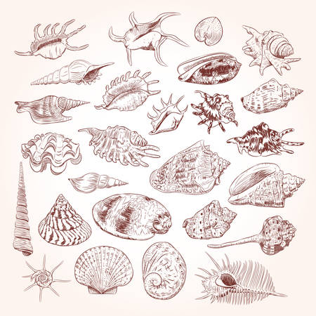 Unique museum collection of sea shells rare endangered species, molluscs Gastropoda Bivalvia Venus comb murex Corculum cardissa Tridacna squamosa Muricidae Brown contour on white background. Vector illustration