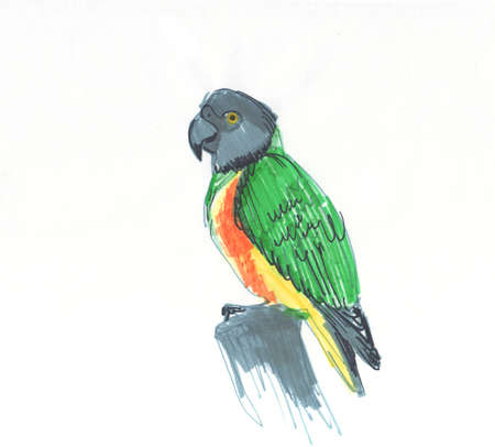 Senegal parrot Poicephalus senegalus from west Africa sketch markers, freehand drawing 版權商用圖片