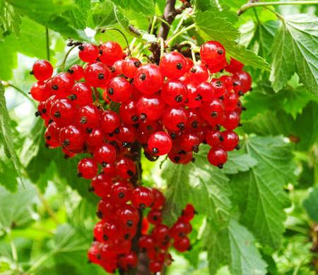 redcurrant의 과일의 무리 스톡 콘텐츠