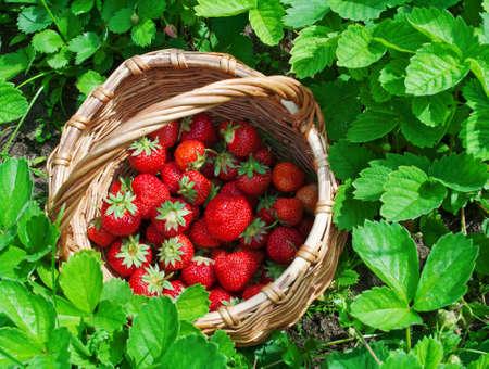 canastas de frutas: canasta de fresas Foto de archivo