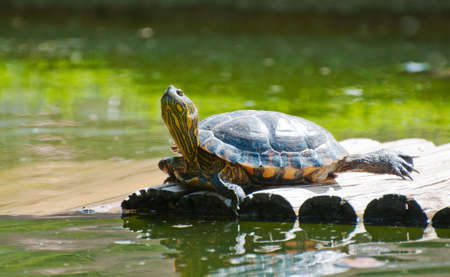 Turtle in the botanical garden in Rio de Janeiro photo