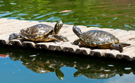 Two turtles in the botanical garden in Rio de Janeiro photo