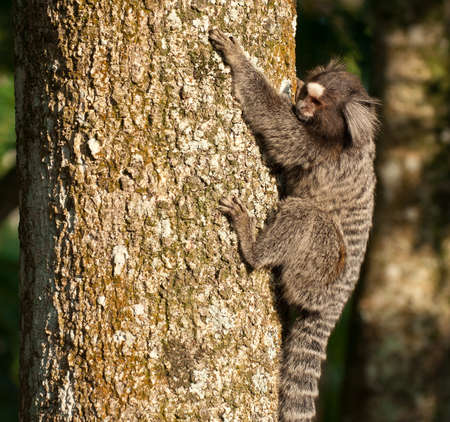 Monkey Marmoset in  de Janeiro  Brazil Stock Photo - 13620070