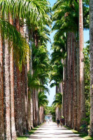 The Palm alley in The Botanical Garden in Rio de Janeiro photo