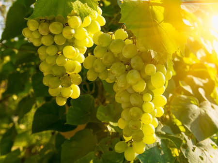 chardonnay: Green grapes on vine with sunset light Stock Photo