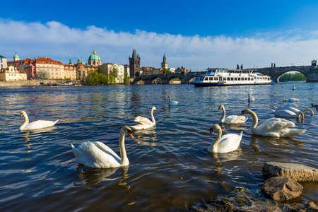 most: Swans on Vltava river and Charles Bridge. Prague