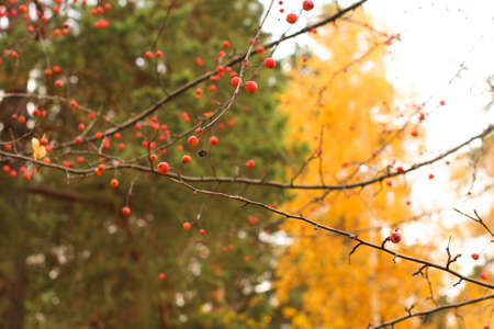twiggy: juicy red berry on a bare branch on blurred background Stock Photo