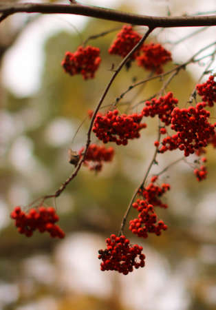 twiggy: Autumn berries. autumn nature background