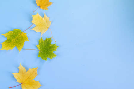 Dried maple autumn yellow leaves, isolated on light blue background with space for text
