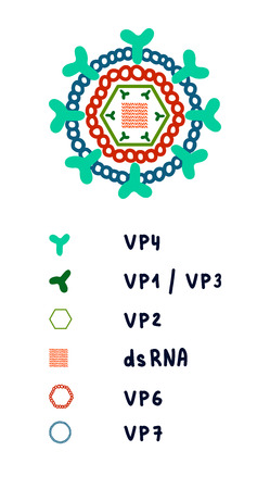 Rotovirus structure illustration complex architecture genome proteins hand drawn in minimalistic style for posters banners prints presentations and articles color scheme