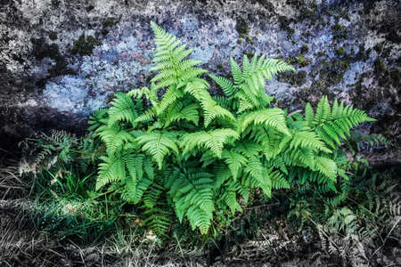polypodiaceae: Green fern on natural background. Fern is one of the most ancient plants of the Earth. It uses spores for reproduction. Yang propagules of fern are used as food. Some color effects on the background give attractiveness to the picture.