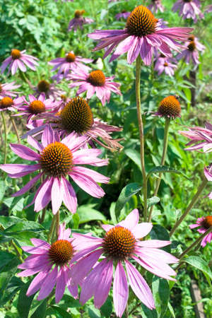 medicinal plant: Flowering Echinacea used as a medicinal plant Stock Photo