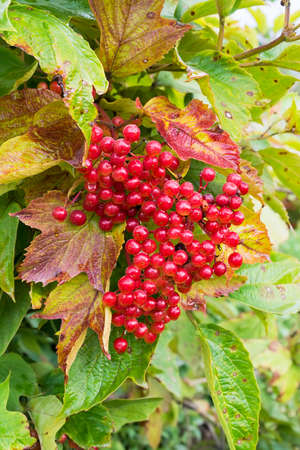 guelder rose berry: Bunch of red berries of snowball tree on background of green and yellow leaves. This tree has also other names: viburnum, guelder rose. Berries of snowball tree can be used for delicious Russian jelly-like soft drink.