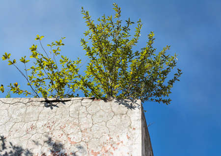 living thing: Lonely green bush on the concrete wall. It's a good example of vital force. Every living thing want to survive, even if there are no good conditions for life, only lifeless concrete around. Color effects make the picture more expressive. Stock Photo