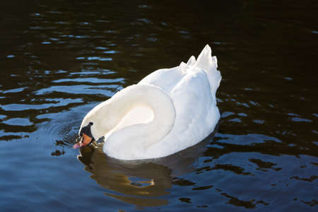 defenceless: Beautiful white swan drinking on the surface of water. There is a contrast between light white swan and water background.
