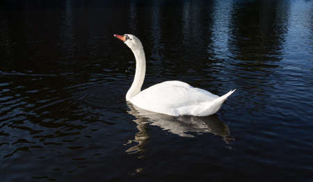 defenceless: Beautiful white swan rowing on the surface of water and looking at the sky. There is a contrast between white swan and black water background. Stock Photo
