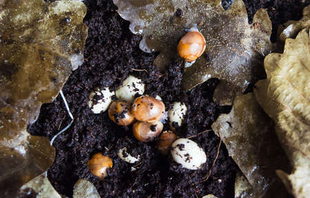 affecting: Little new-born snails hatch from the eggs. Kind of giant African snails is archachatina marginata suturalis dark body and albino body.