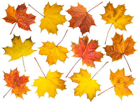 Set of isolated multicolored maple leaves on white background.