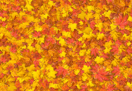 wallpaper abstract: Jointless texture of multicolored maple leaves for natural background.