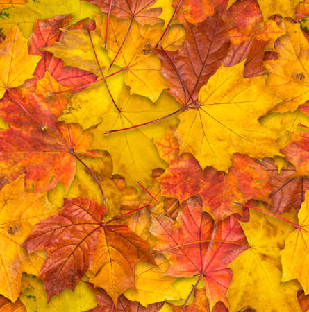 jointless: Jointless texture of multicolored maple leaves for natural background.
