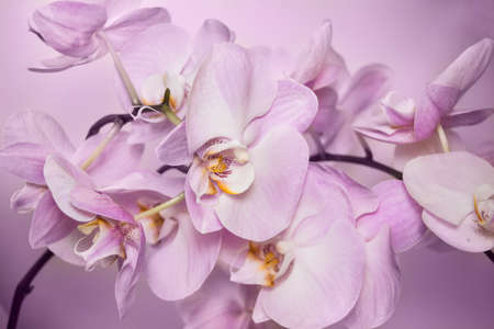 Beautiful background of raceme of light pink orchid flowers. It is a good example how perfectly orchid can flowering. Phalaenopsis orchid flower is like a tropical butterfly.
