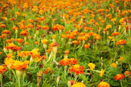 glade: Beautiful glade of orange flowers Tagetes for natural background.