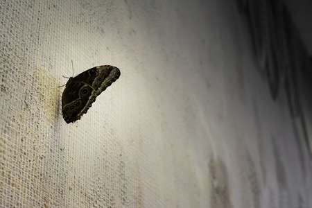 unprotected: Black butterfly is sitting on textured white wall. Natural background. Stock Photo