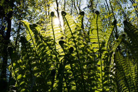 polypodiaceae: Thicket of fern in the forest on background of sunlight. Fern is one of the most ancient plants of the Earth. It uses spores for reproduction. Stock Photo