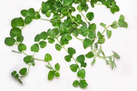 Branches and leafs of the mint on white background. Melissa officinalis. Stock Photo