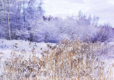 Miracle winter forest covered by snow. Frozen trees and dry grass. Saint-Petersburg.