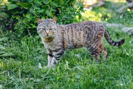 portrait of a tricolor cat in the green grass.