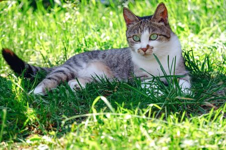 grey cat is lying on a green grass.