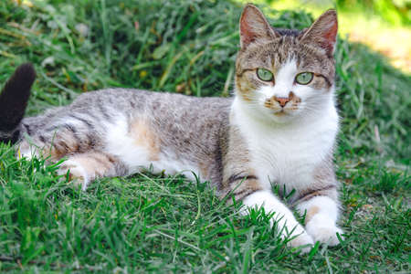 grey cat is lying on a green grass 스톡 콘텐츠